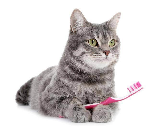 Чистим зубы у кошки в домашних условиях: советы чем и как чистить правильно