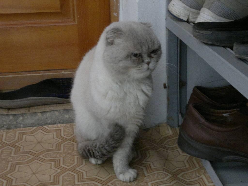 Как коты переносят кастрацию: основные факторы, возможные осложнения, уход