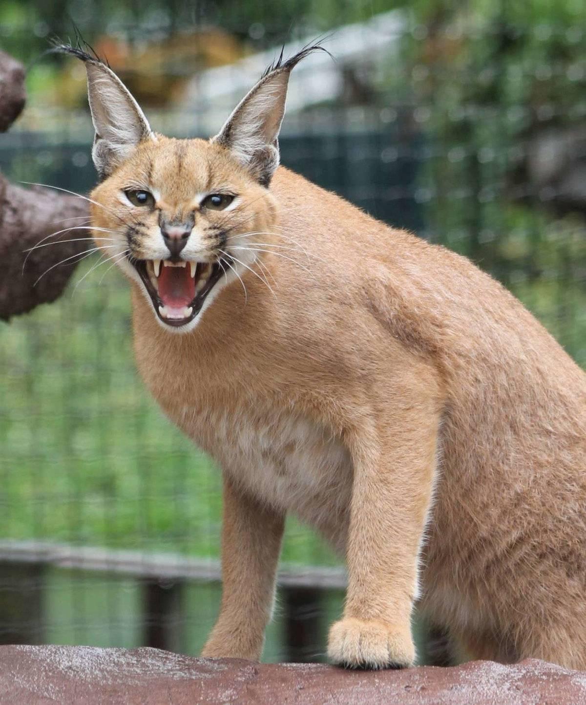 Домашние кошки, похожие на рысь — топ-6 пород