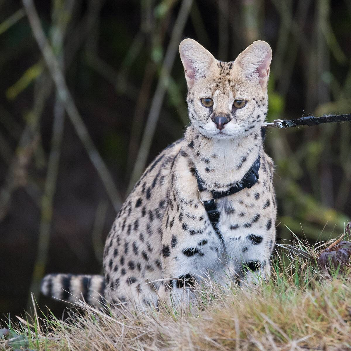Самые быстрые кошки в мире – список, названия, максимальная скорость, описание, фото и видео  - «как и почему»
