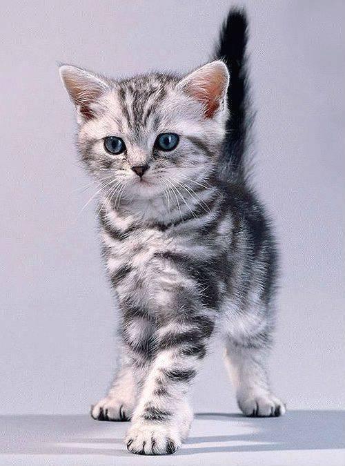 Какой породы кошка из рекламы «вискас»? порода кошки из рекламы вискас кот из рекламы фрискис.