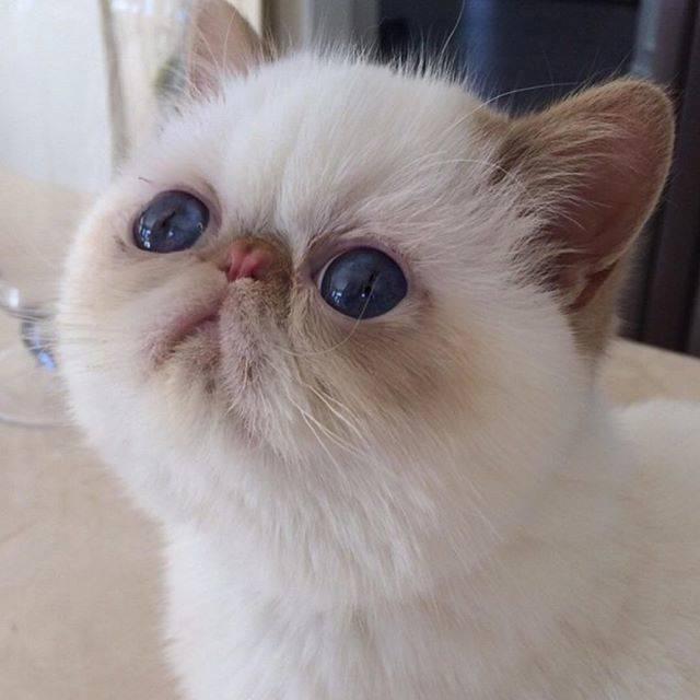 Как называется порода кошек с приплюснутой мордой — объясняем детально