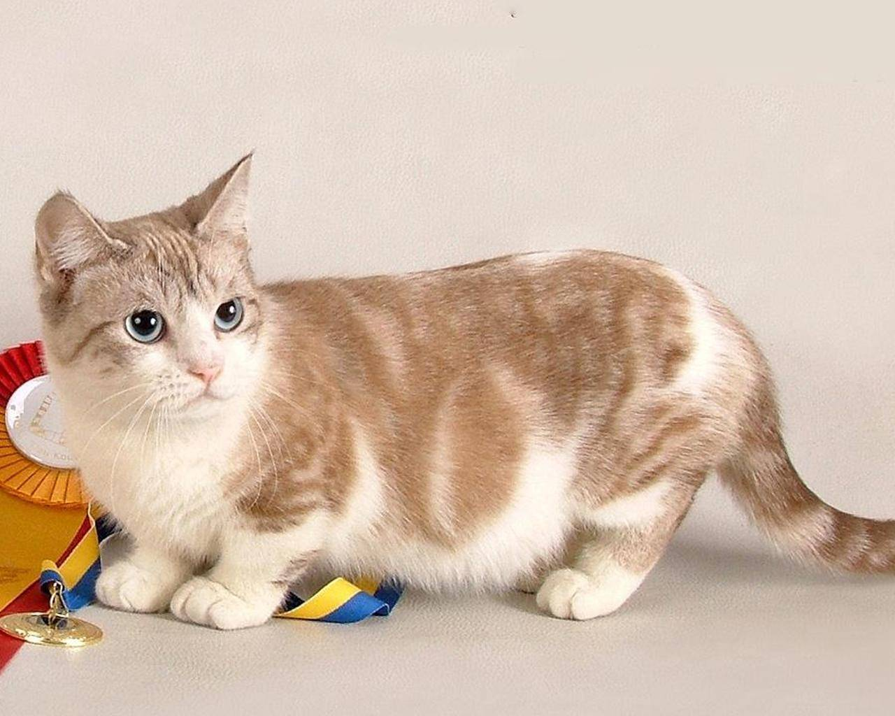 Коротколапые кошки: обзор пород, фото