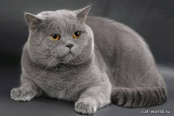 Порода кошек британская шиншилла