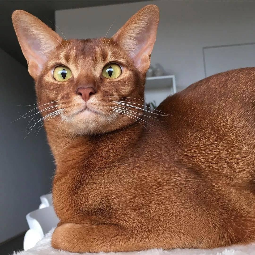 Породы кошек, от которых практически нет шерсти в доме