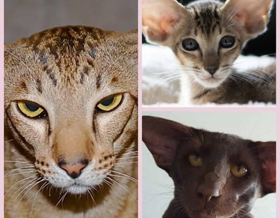 Ориентальная кошка - полное описание породы: фото, характер,отзывы, цена, как ухаживать, чем кормить