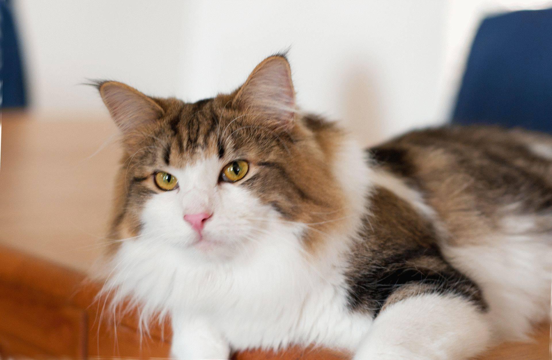 Норвежская лесная кошка: подробное описание, фото, купить, видео, цена, содержание дома