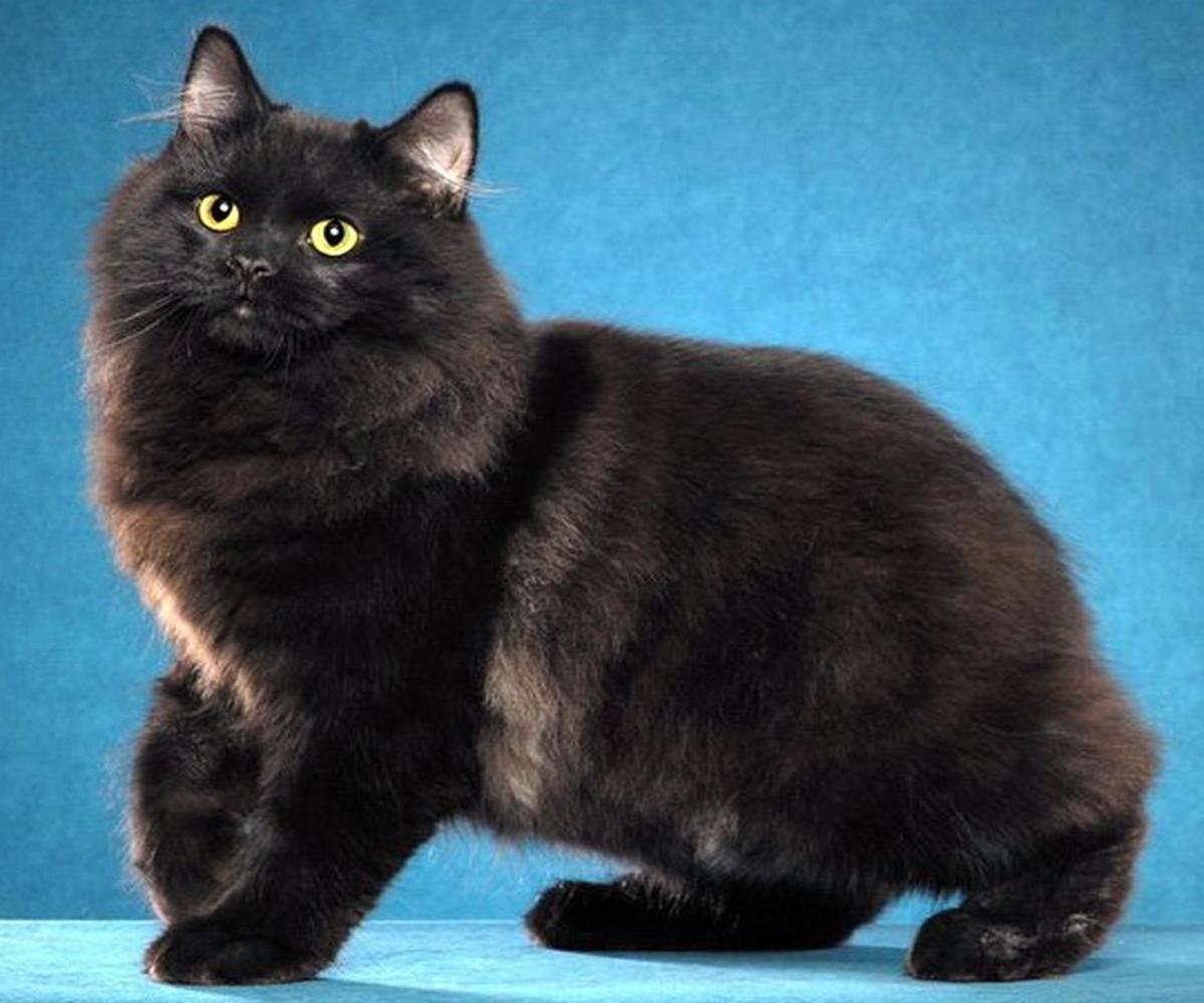 Мэнкс (мэнская кошка)