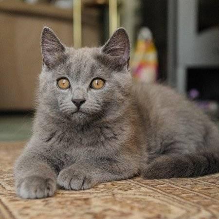 Картезианская кошка шартрез – описание породы, характер и повадки, уход и содержание, здоровье, кормление