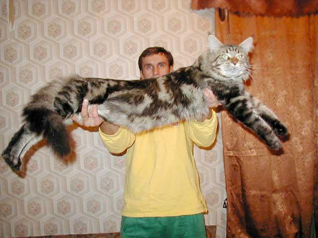 Камышовый кот (хаус) – болотная рысь