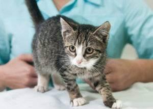 Прививки котенку - запись пользователя andary (weiss5445) в сообществе домашние животные в категории кошки. болезни, прививки, советы по уходу - babyblog.ru