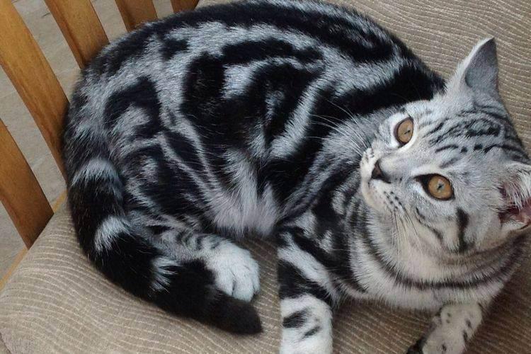 Породы кошек с окрасом табби