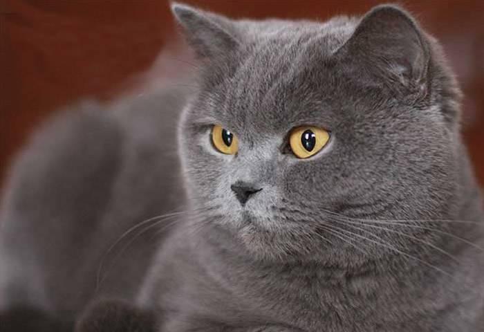 Серые коты: характер и тонкости ухода