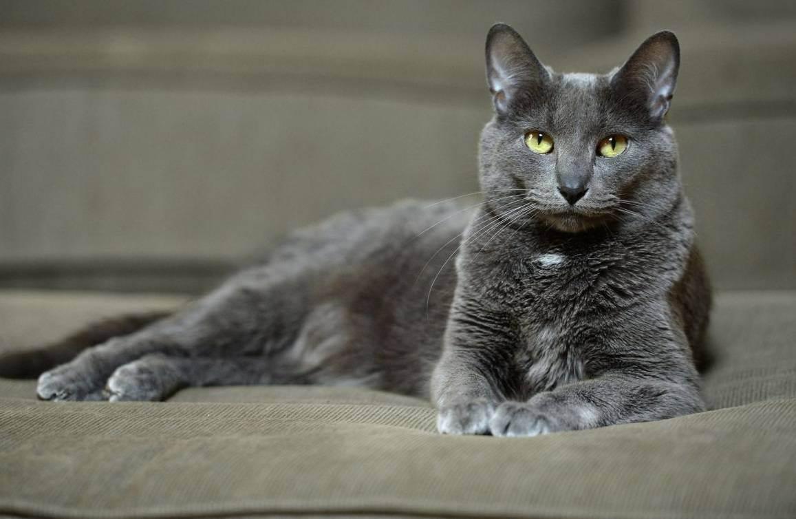 Корат: описание породы кошки, фото, характер, уход | voprosoff.net