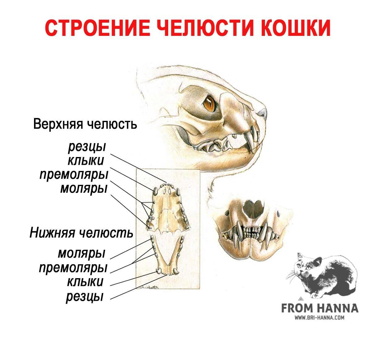 Когда меняются зубы у котят? 30 фото есть ли у кошек и котов молочные зубы? симптомы смены зубов на постоянные