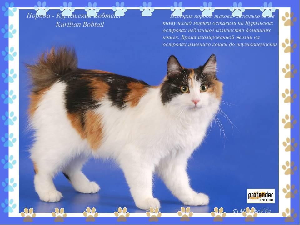 Разнообразие пород кошек без хвоста — описание и характеристики