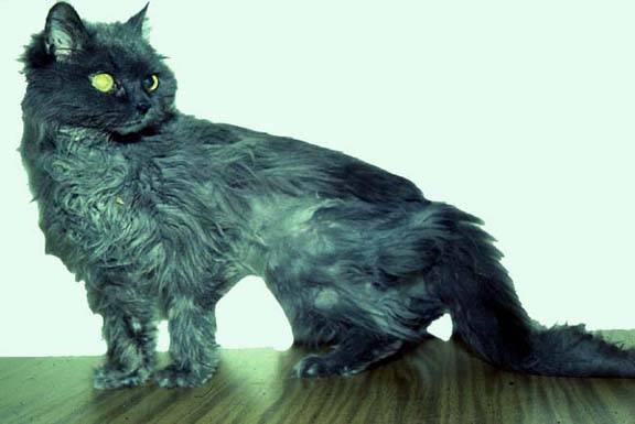 Гиперпаратиреоз у кошек: симптомы и лечение
