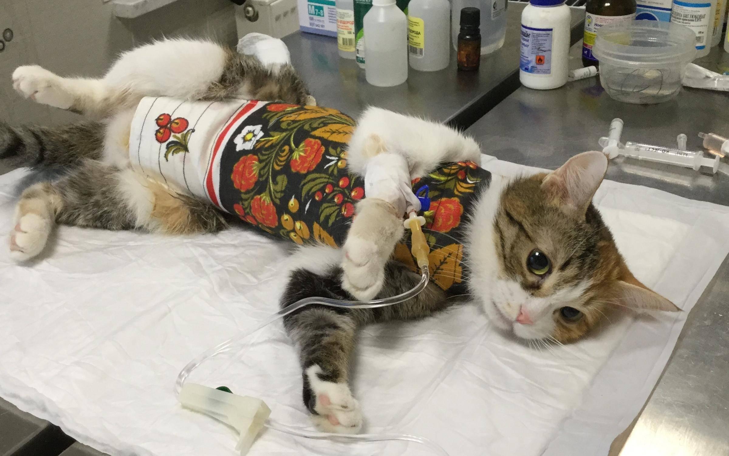 Уход после кастрации кота в первый день, кастрация кота-крипторха, питание