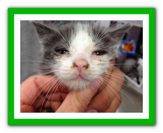 Инфекционный ринотрахеит у кошек. симптомы и лечение