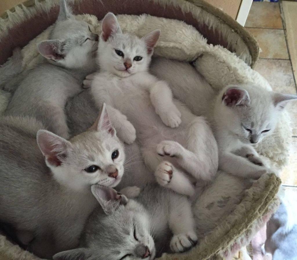 Как начать разводить кошек, советы опытных заводчиков, видео инструкция