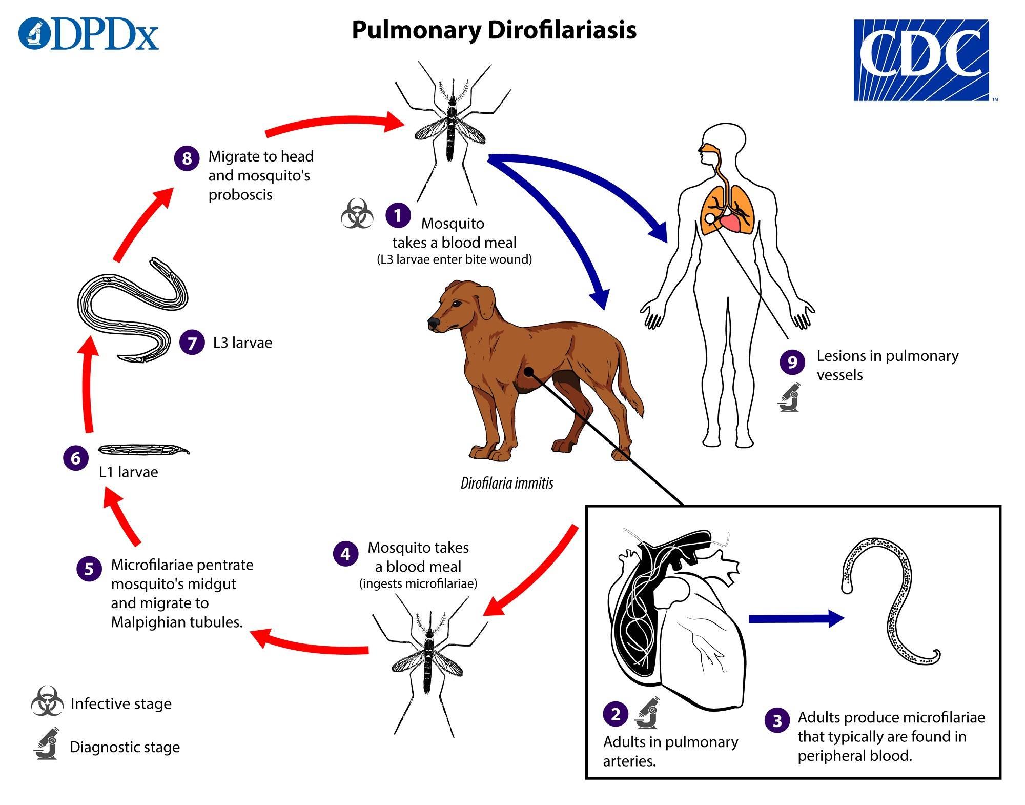 Дирофиляриоз у собак - симптомы, лечение, препараты, причины появления   наши лучшие друзья