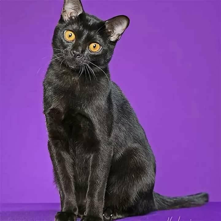 Бомбейская кошка: фото, описание породы и характера, содержание бомбея