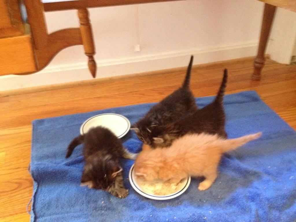 Когда начинать прикорм новорожденных котят