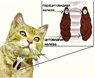 Гипертиреоз у кошки: симптомы и лечение.
