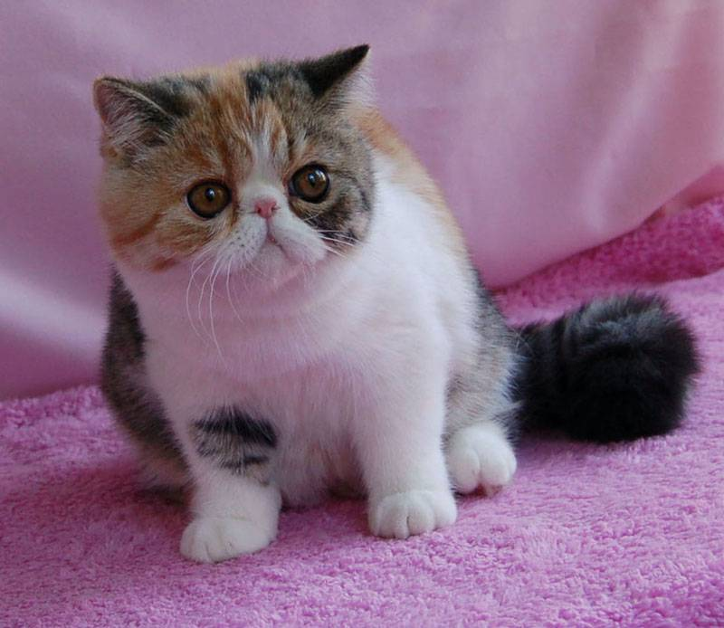 Экзотическая кошка: особенности породы с фото, характер, стоимость кота экзота