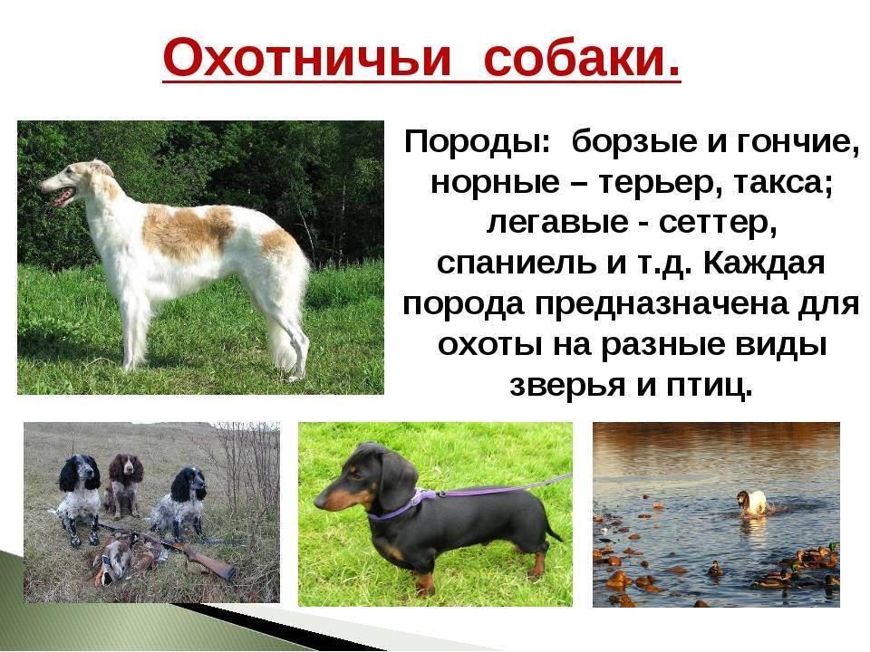 Особенности охоты с биглем. основные качества собаки и фото