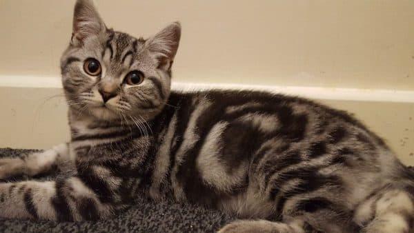 Какие бывают окрасы табби у британской породы кошек