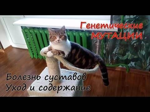 Шотландская кошка хромает: причины и лечение. кот хромает на переднюю лапу что делать