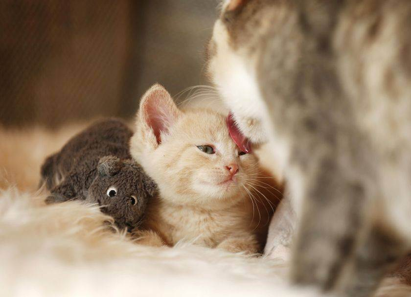 Осложнения после прививки у кошки