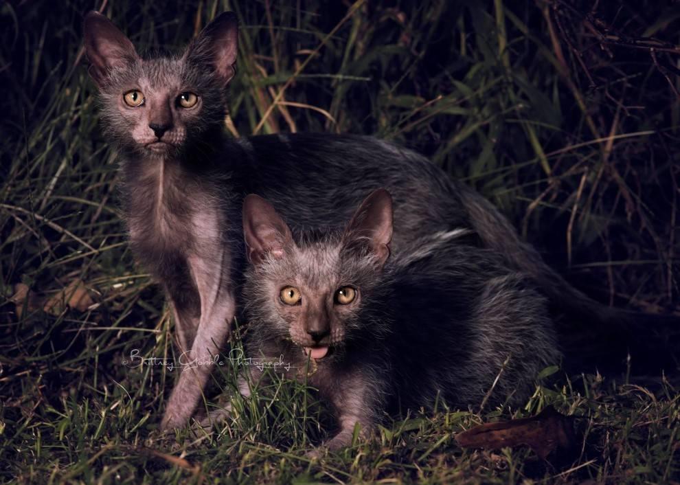 ᐉ кошка ликой или кот оборотень: описание новой популярной породы - kcc-zoo.ru