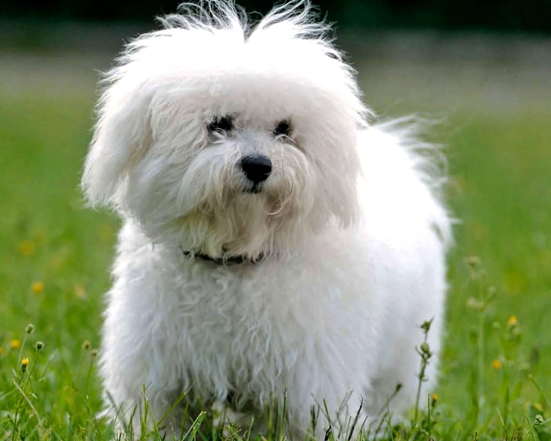 Собака болоньез (итальянская болонка): описание породы, особенности содержания, отзывы :: syl.ru