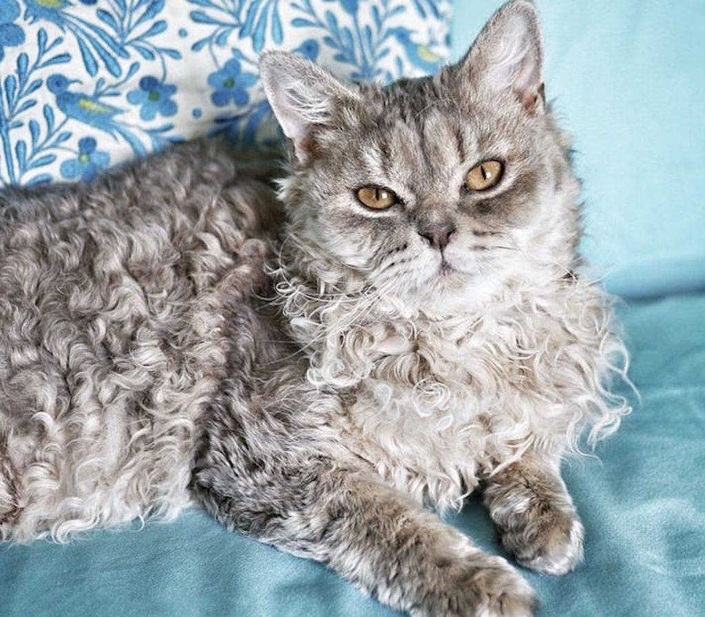 Породы кудрявых кошек