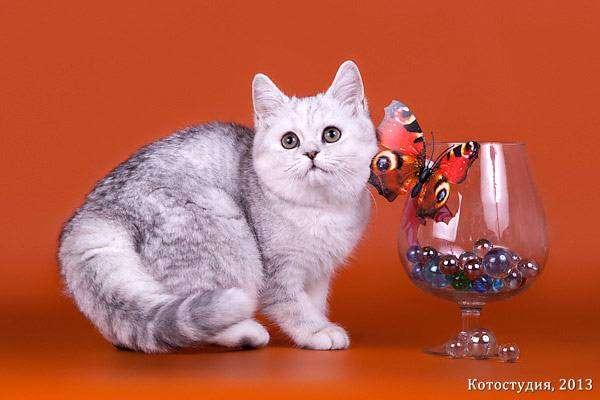 Как определить какая порода у кошки?