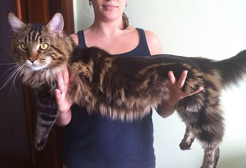 Размер и вес мейн куна-взросление породы по месяцам