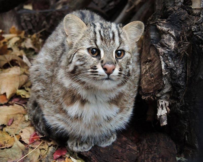 Амурский лесной кот (дальневосточный кот): описание с фото и видео