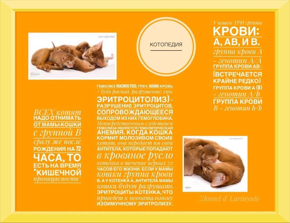 """Кошки и их группы крови — обсуждение в группе """"кошки""""   птичка.ру"""