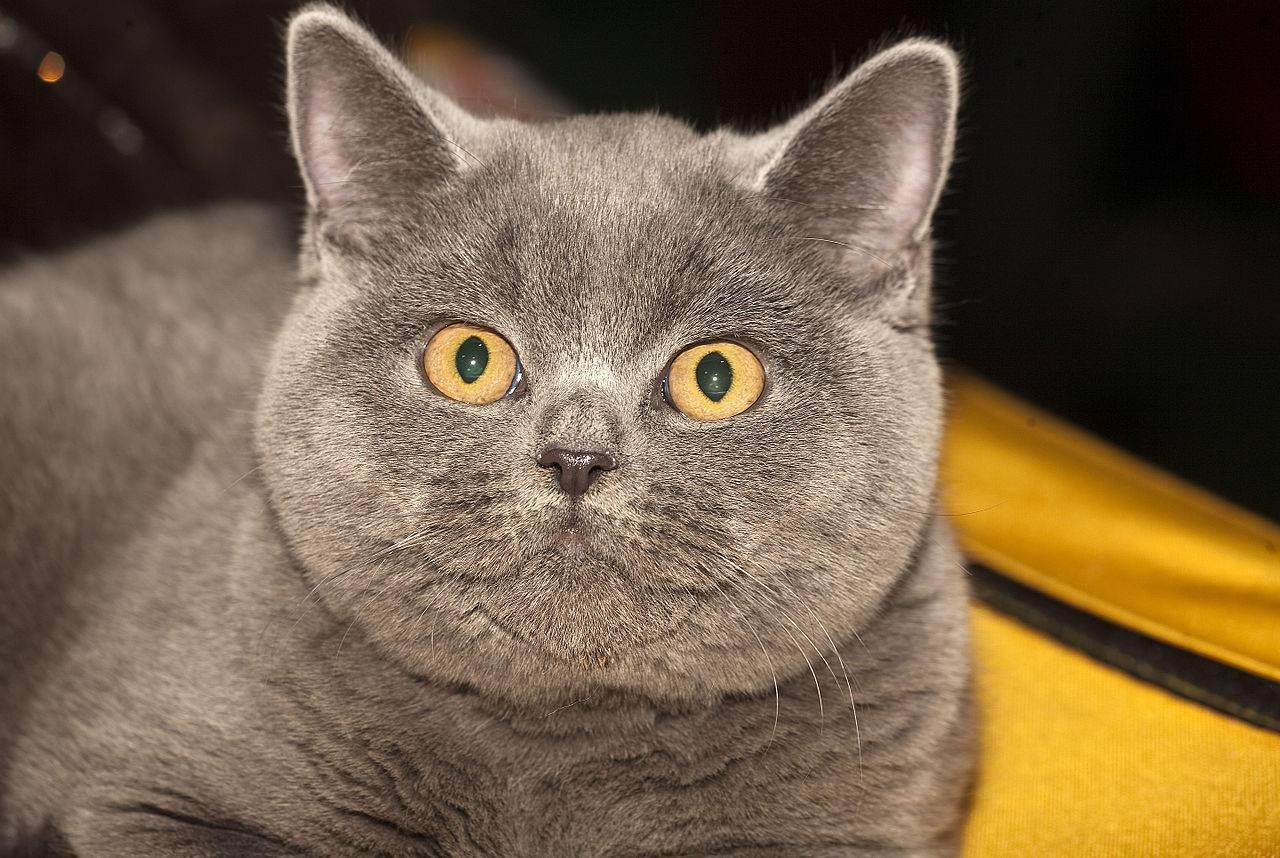 Правильное кормление британского котенка