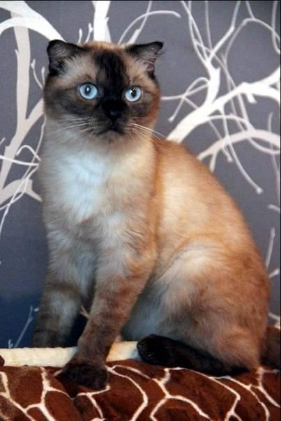 Сиамские кошки: информация и характерные особенности