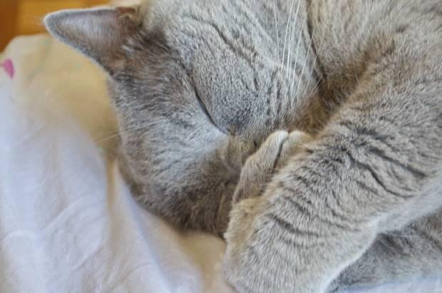 Кот кашляет и чихает: как вылечить в домашних условиях?   рутвет - найдёт ответ!