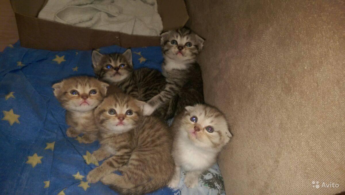 Шотландский котенок в 3 месяца