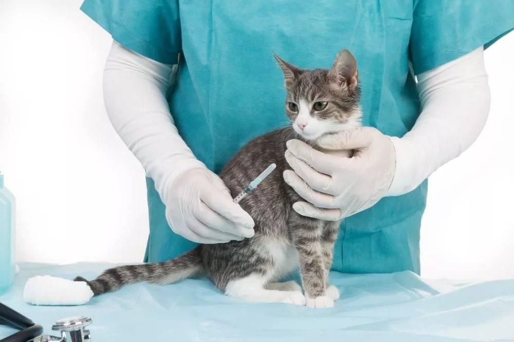 Схема лечения фип у кошек - муркин дом