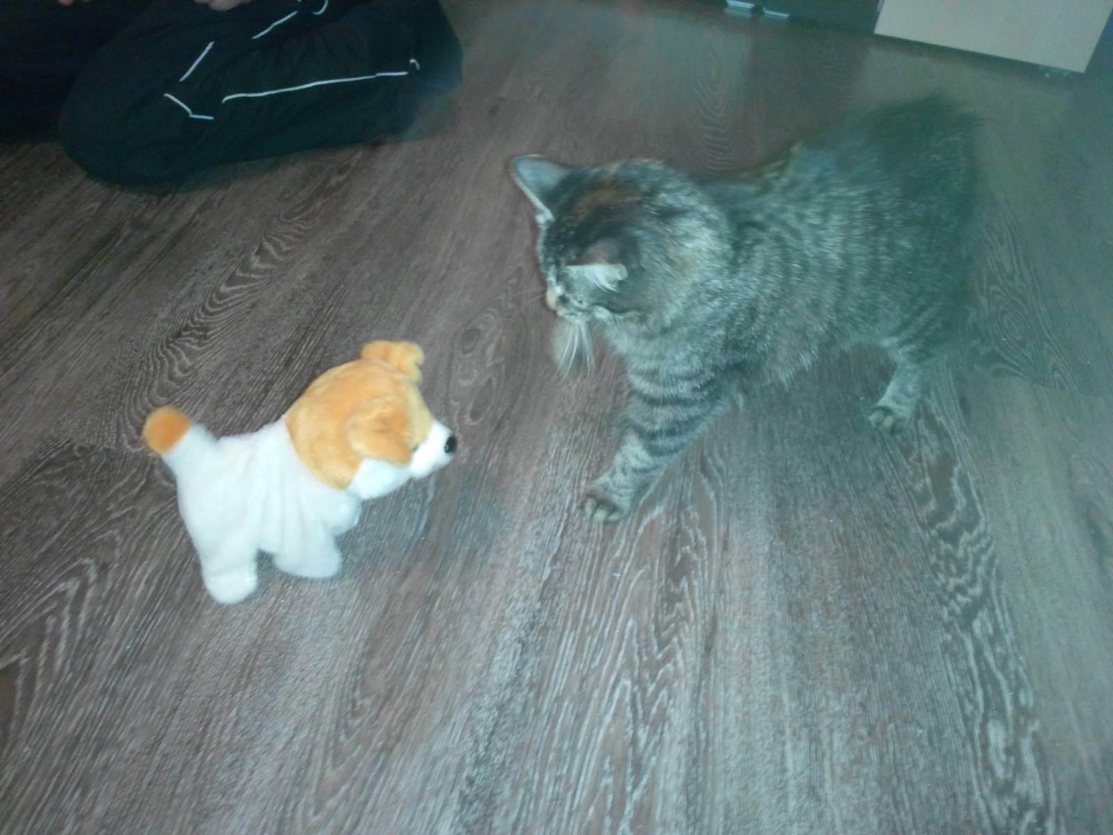 Когда кормить кошку после стерилизации. питание кошки после болезни или операции. чем нельзя кормить