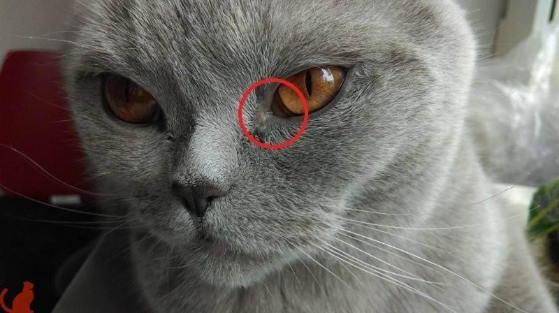 Чем лечить кошку, если она постоянно чихает и у неё слезятся глаза?