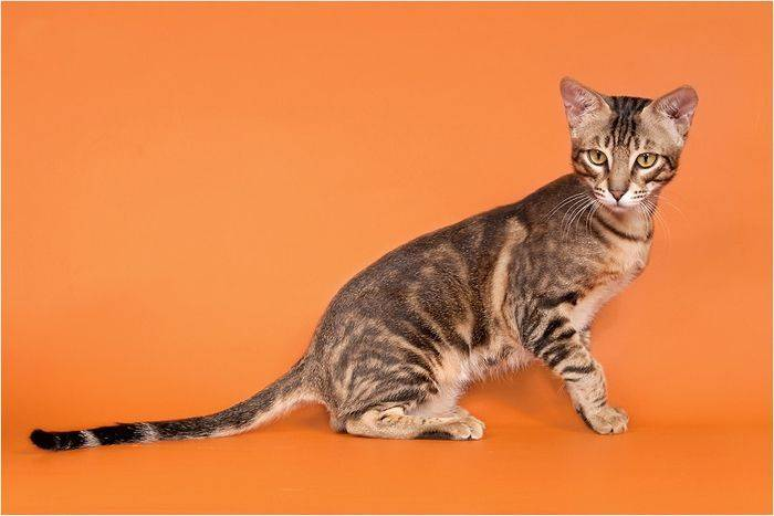 Кошка сококе: описание кенийской лесной породы и особенности характера