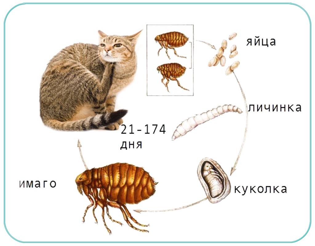 Могут ли блохи от кошки перейти на человека – живут ли насекомые на людях