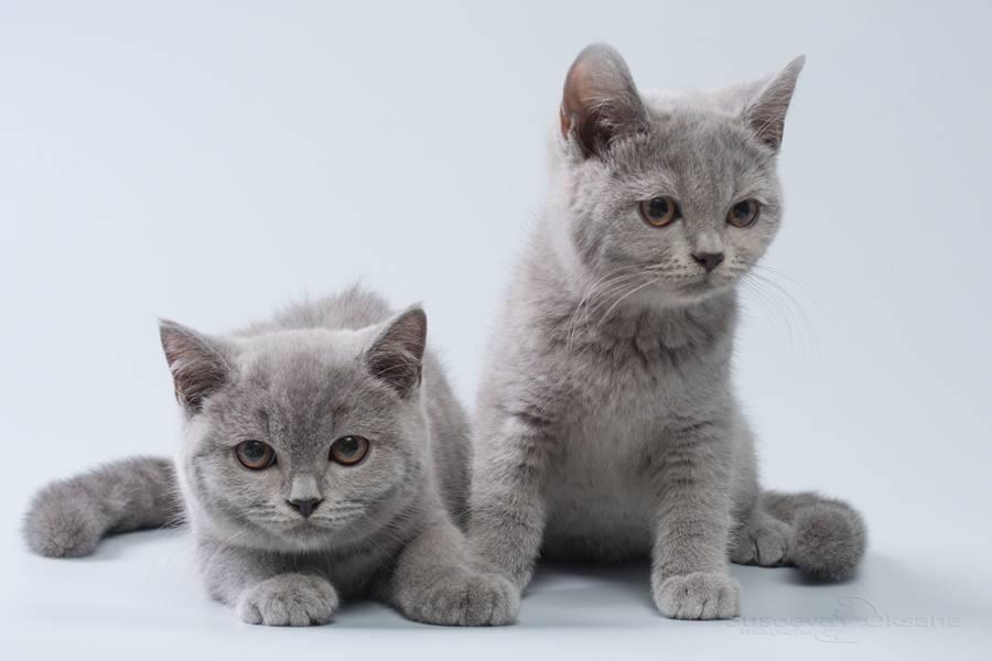 Чем кормить британских котят в домашних условиях?